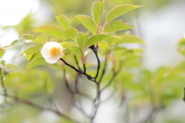 ヒメシャラの木とは?その特徴や育て方をご紹介!シャラとの違いは?