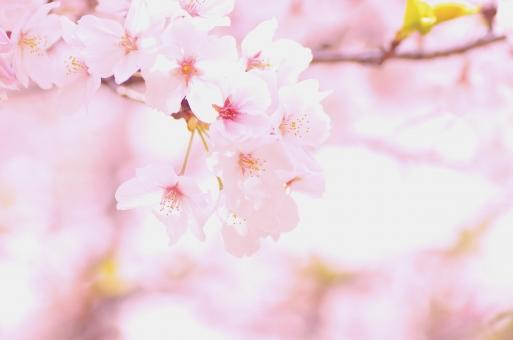 ソメイヨシノとは?絶大な知名度を誇る理由と桜品種としての特徴を紹介!