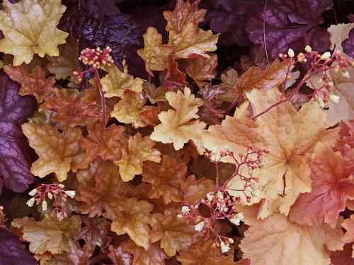 ヒューケラの育て方!枯らさず管理する方法や綺麗な寄せ植えの仕方を紹介!