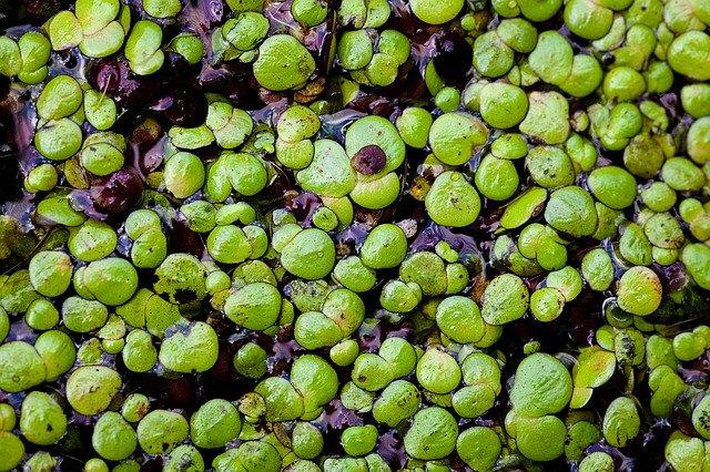 アマゾンフロッグピットの育て方!根が溶ける・葉が茶色くなる原因は?
