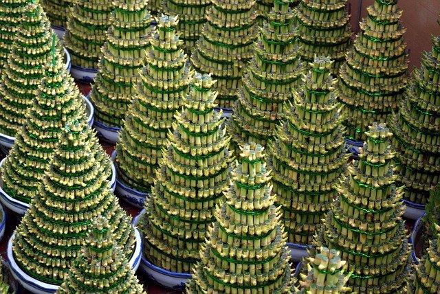 ミリオンバンブーの育て方!挿し木での増やし方や植え替えのコツを紹介