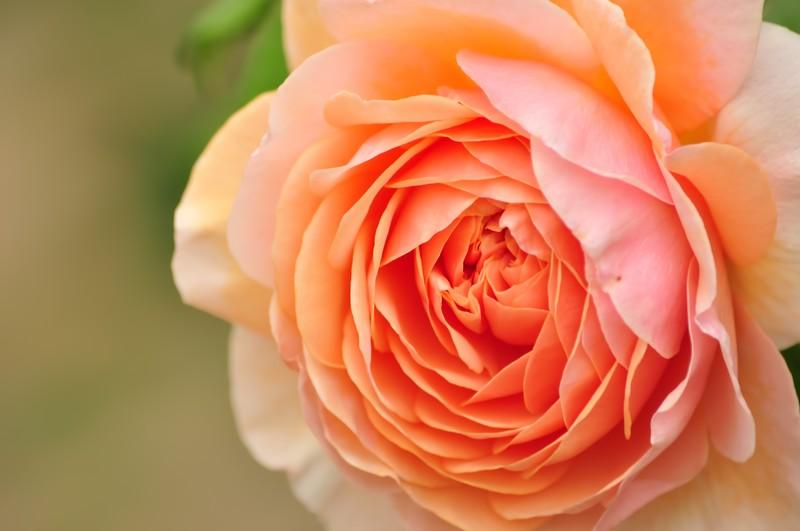 バラの苗にはどんな種類がある?大苗と新苗の違いや育てやすさを解説!