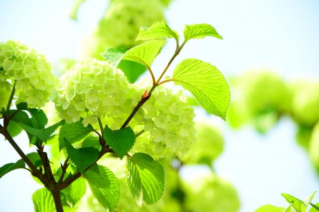 オオデマリとは?人気の品種や寄せ植えなど利用法のアイデアも紹介!