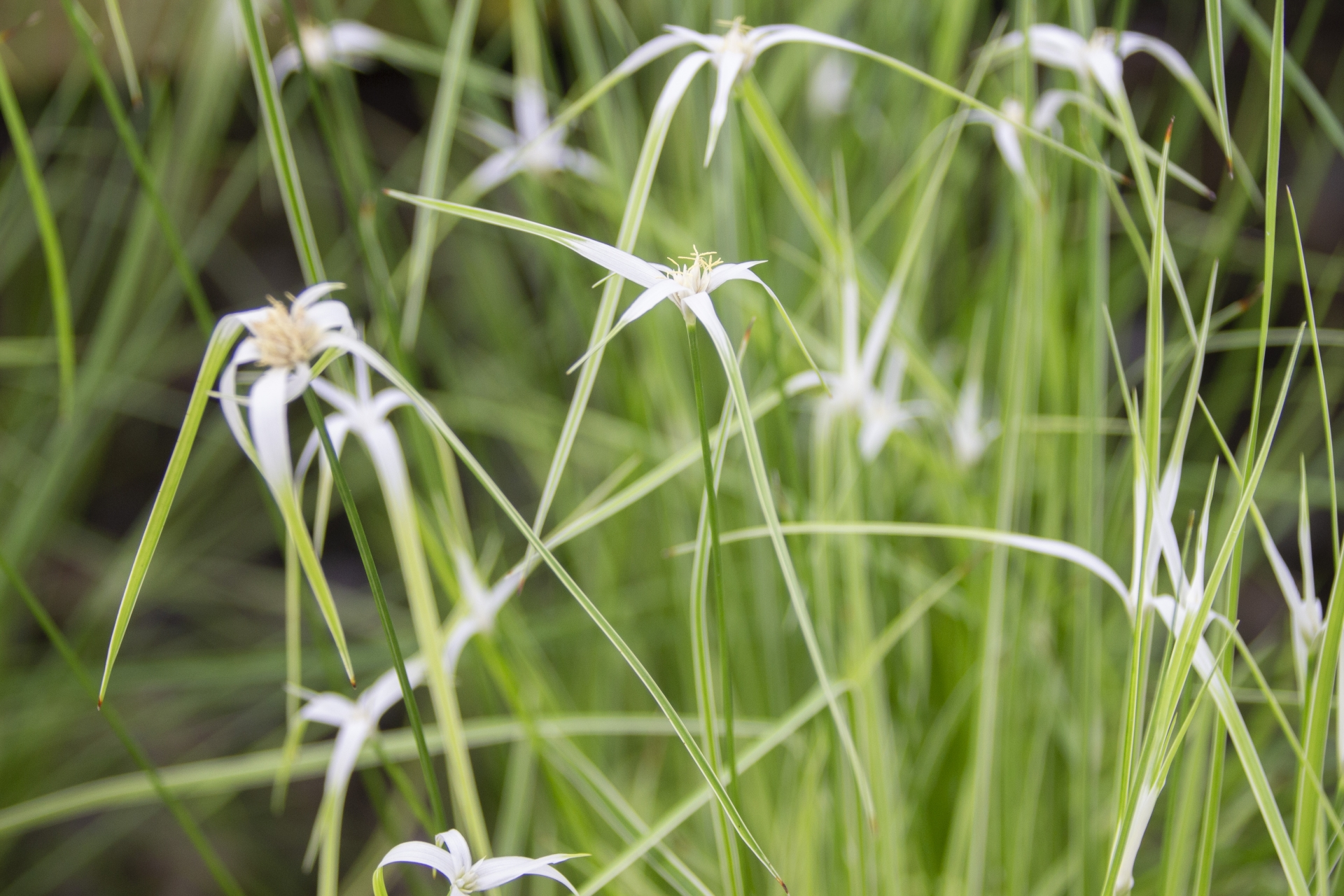 シラサギカヤツリとは?花を咲かせる上手な植え方・管理のコツは?
