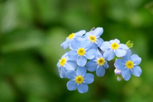 ミオソティスとは?花の特徴や挿し木での増やし方、管理方法を紹介!