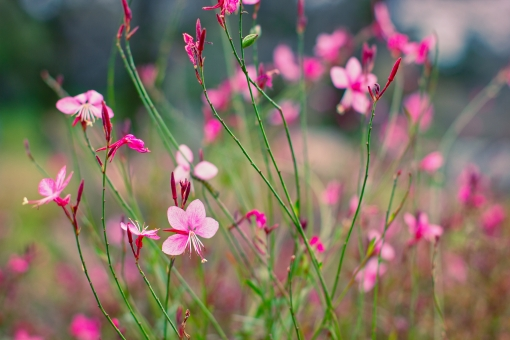 ガウラの育て方!花がら摘みや植え替えのやり方・タイミングを紹介!