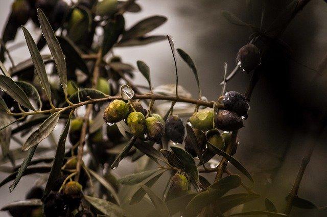 オリーブの木の育て方!絶対に失敗しない植え方・管理方法のコツを解説!