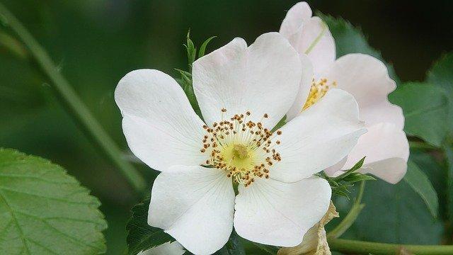 ノイバラ(野薔薇)とは?花言葉などの特徴や上手な育て方をご紹介!