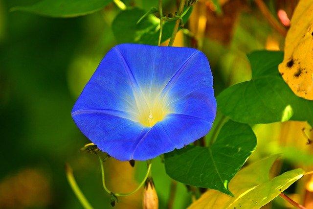 アサガオの育て方!夏の風物詩である花をきれいに咲かせるコツを解説
