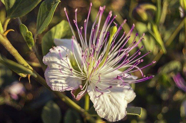 ケッパー(ケーパー)とは?植物としての特徴と食材としての使い方を紹介!