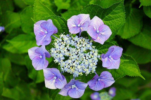 ガクアジサイ(額紫陽花)とは?品種としての特徴や花言葉をご紹介!