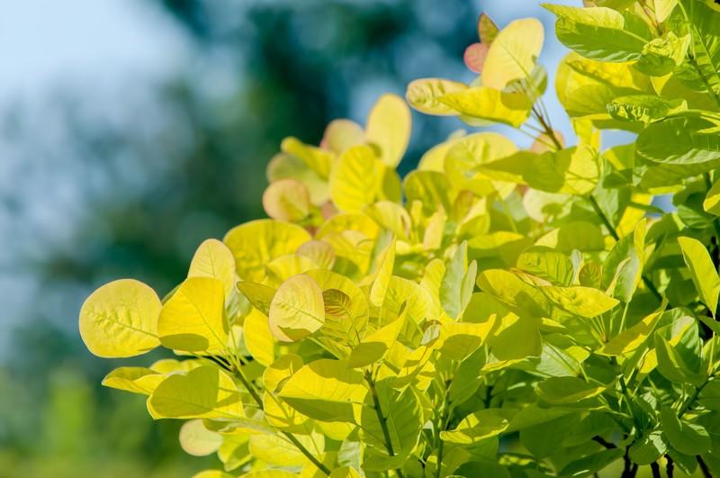 スモークツリーの育て方!剪定方法や鉢植えでの管理のコツをご紹介!