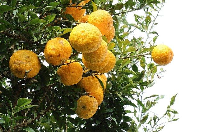 ゆず(柚子)の育て方!肥料・剪定などの手入れの仕方や害虫対策を紹介