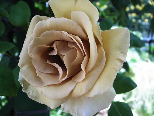 つるバラ「バタースコッチ」の育て方!日陰でも綺麗に咲かせるコツは?