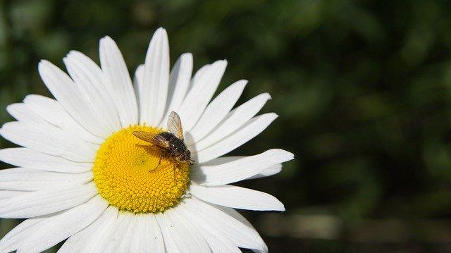 除虫菊とは?植物特性や効果を解説!育て方やパウダーの作り方も紹介!