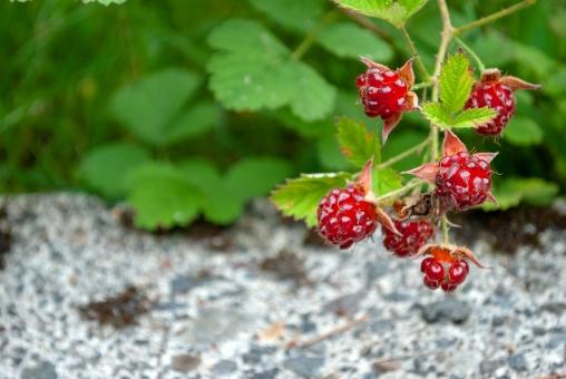 木苺の育て方!植え付け・施肥の時期や収穫量を増やすコツをご紹介!