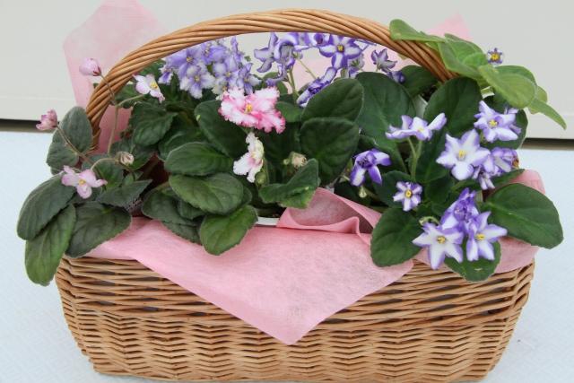 セントポーリアとは?室内できれいに花を咲かせる管理のポイントを解説