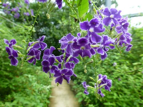 デュランタとは?品種や学名・開花時期・花言葉などの特徴をご紹介!