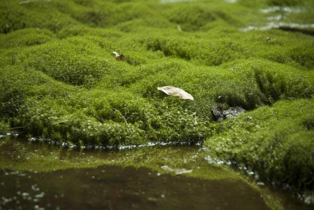 スギゴケとは?生息地や採取できる場所、水やりなどの育て方を紹介!