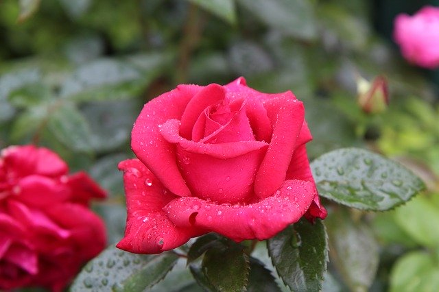 メイアン社のバラの品種一覧!色・香り・花期などの特徴を一挙紹介!