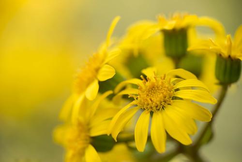 ツワブキ(石蕗)とは?花の特徴や食べ方・アク抜きの方法をご紹介!