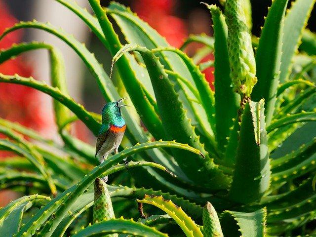 キダチアロエの育て方!剪定・植え替えの時期や花を咲かせるコツを紹介