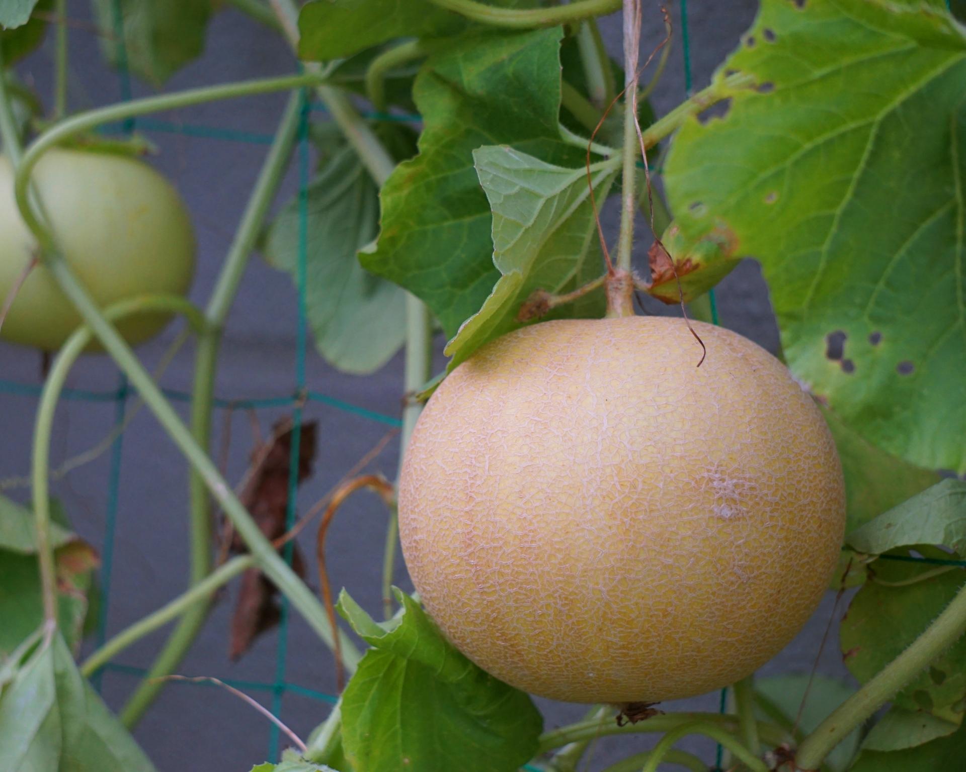ころたん(ミニメロン)の育て方!受粉のコツや収穫時期の見分け方を紹介!