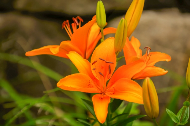 8月1日の誕生花!特徴や育て方・誕生石にゆかりの有名人もご紹介!