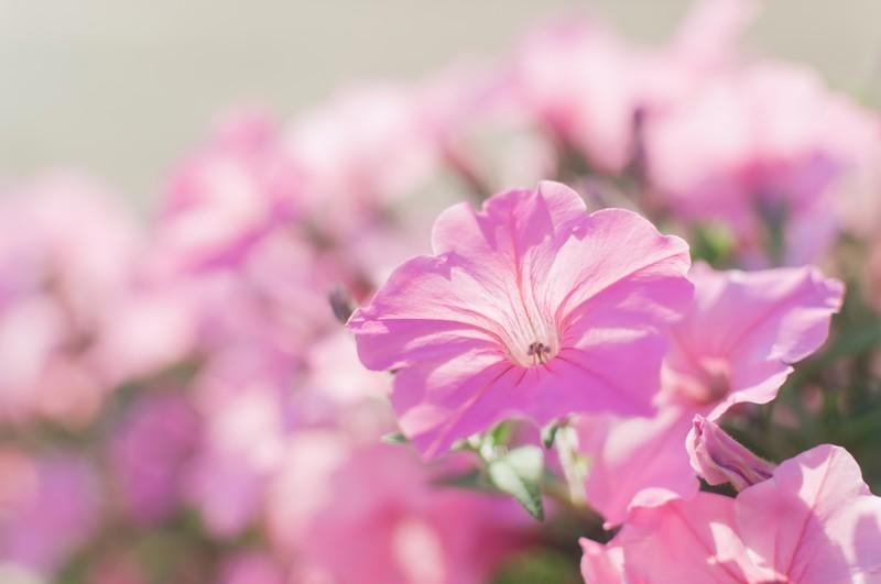 3月に種まきできる花の人気品種5選!各種の開花時期や特徴を紹介!