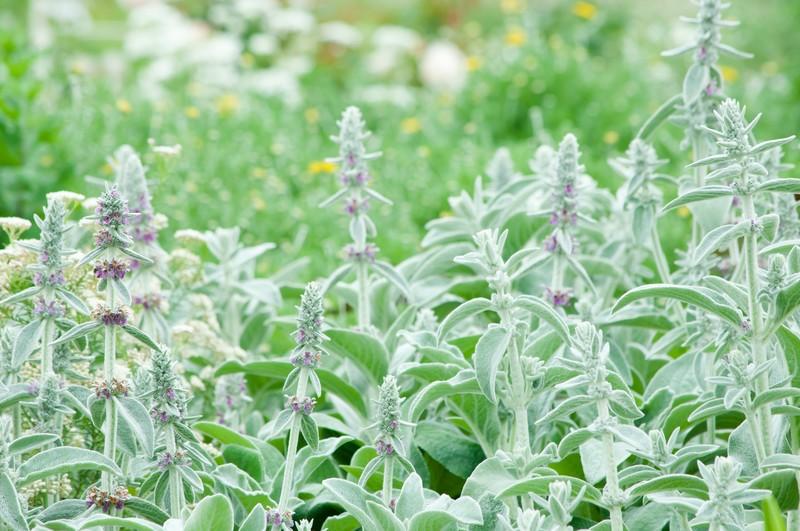 6月に植えられる多年草・宿根草12選!開花期間・花色・草丈を紹介