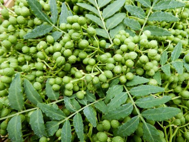 朝倉山椒とは?鉢植えで育てることはできる?普通の山椒との違いは?