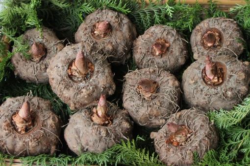 こんにゃく芋とは?こんにゃくの原料?植物としての特徴や育て方を解説!