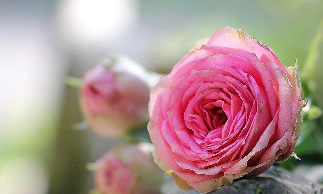 おすすめのオールドローズ品種5選!それぞれの特徴や花言葉をご紹介!