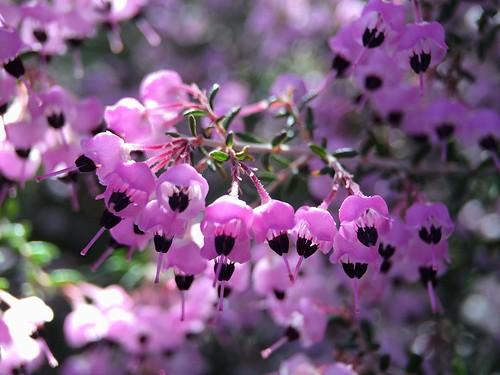 ジャノメエリカとは?名前の由来や花言葉などの特徴・見分け方をご紹介!