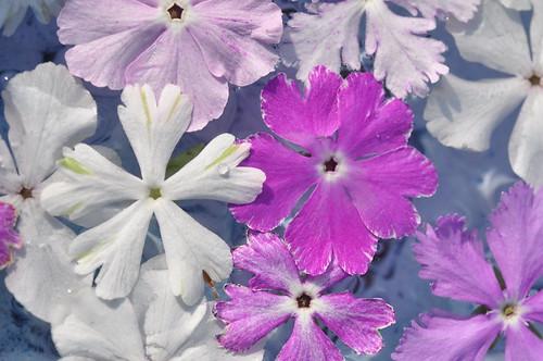 サクラソウ(桜草)とは?花言葉や開花時期などの特徴や種類をご紹介!