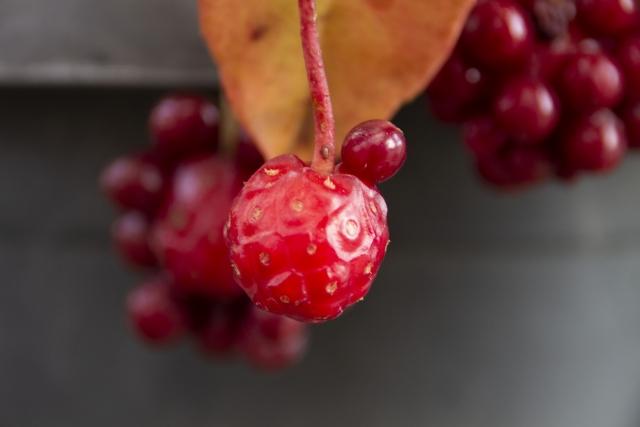 サネカズラ(実葛)とは?花や実など植物としての特徴や利用方法を紹介!