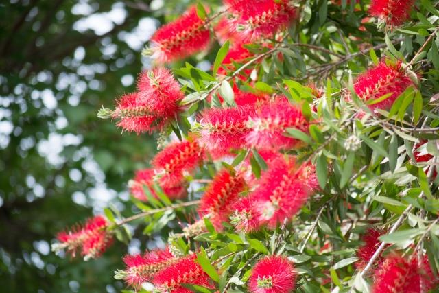 ブラシノキとは?珍しい形をした赤い花の特徴や手入れの仕方を紹介!