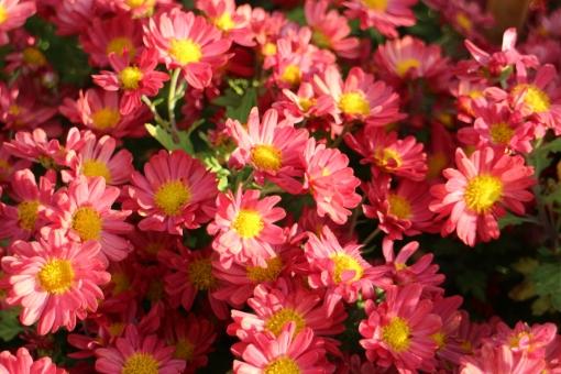 小菊の育て方!種まきの時期や肥料の与え方、栽培の注意点をご紹介!