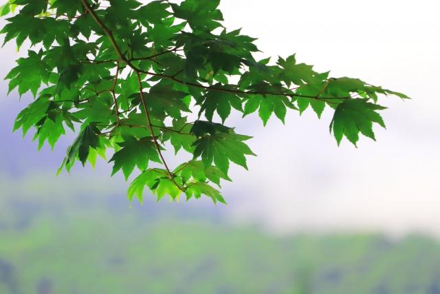 コハウチワカエデとは?紅葉が見頃の時期や庭木としての育て方を紹介!