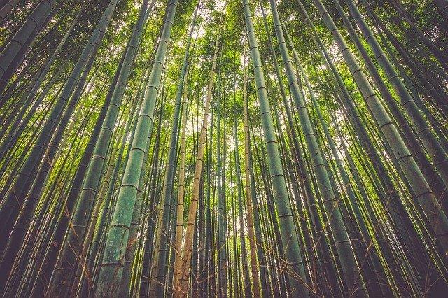黒竹(クロチク)とは?幹が黒くなる条件や鉢植えでの育て方を紹介!