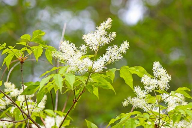アオダモとは?庭木としての特徴や剪定方法などの育て方をご紹介!