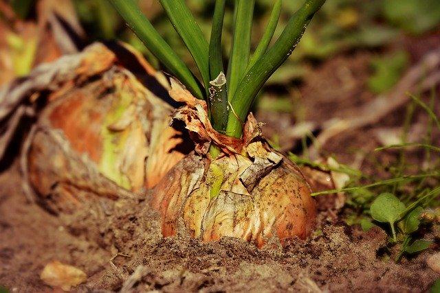 甘くて柔らかい淡路島産玉ねぎの魅力を紹介!おすすめの食べ方は?