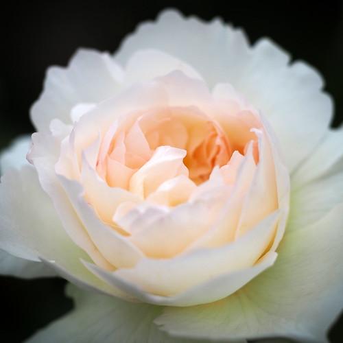 ボレロってどんなバラ?品種としての特徴や育て方・管理のコツをご紹介!