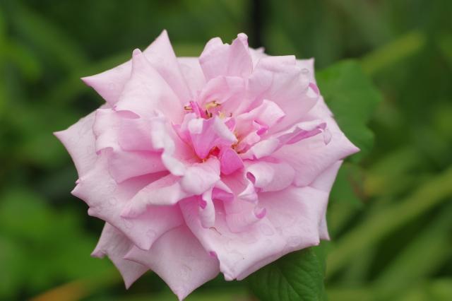 ラ・フランスってどんなバラ?品種としての特徴や育て方・管理のコツは?