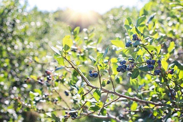 シャシャンボとは?庭木としての特徴や上手な育て方・栽培管理方法を紹介!