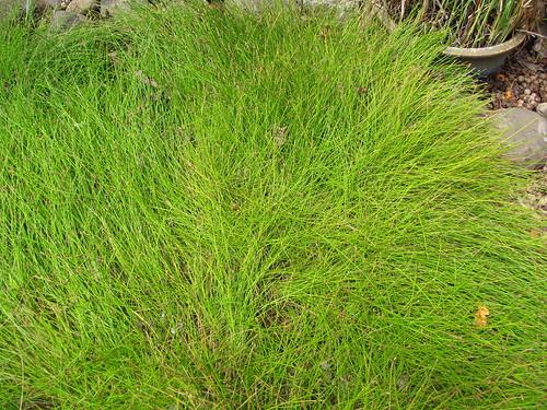 クログワイとは?難防除な水田雑草の特徴や効果的な駆除方法をご紹介!