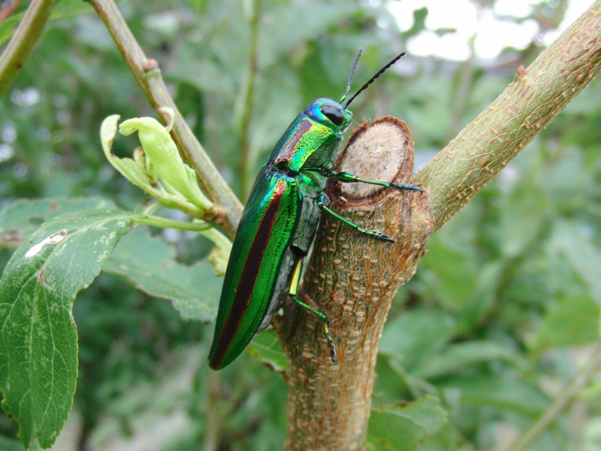 タマムシ(玉虫)の特徴や生息地をご紹介!珍しい虫?人や作物に害はない?