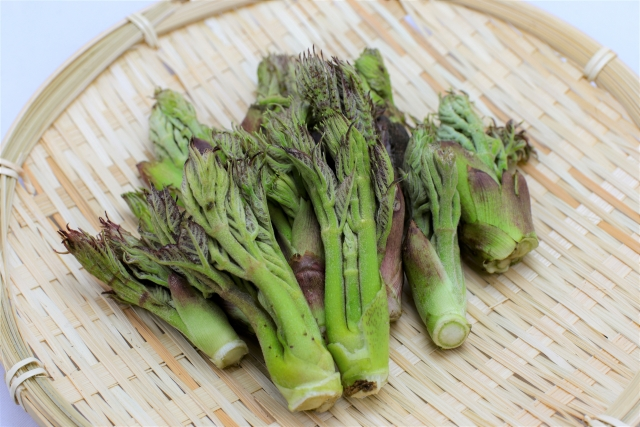山菜「たらの芽」の見分け方と採取方法!採取するにあたっての注意点も解説!