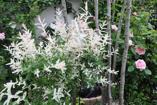 ハクロニシキ(白露錦)とは?特徴や剪定方法・挿し木などの育て方を紹介!