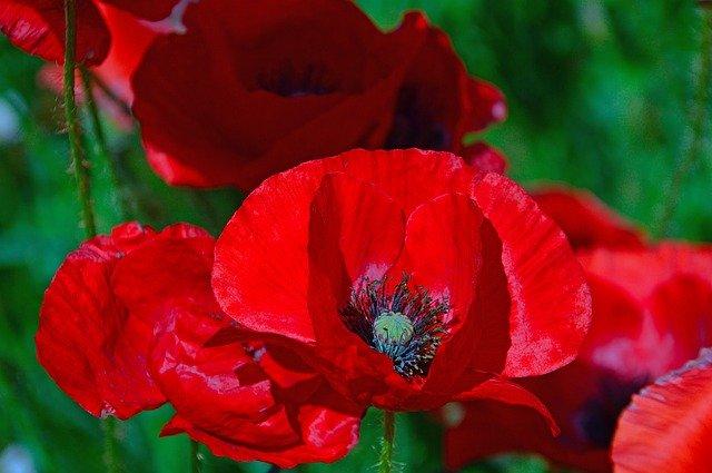 ヒナゲシの特徴と育て方!花言葉・開花時期やポピーとの違いもご紹介